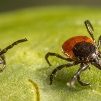 Ticks thrive in Kentucky climate and habitats