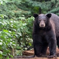 Bear sightings reported in Caldwell County